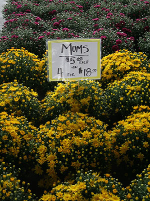 Post image for It's fall: Bring on the mums